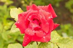 Piękna czerwieni róża po deszczu z bliska Konceptualny projekt f Zdjęcia Royalty Free