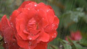 Piękna czerwieni róża pod kroplami deszcz zbiory wideo