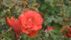 Piękna czerwieni róża pod kroplami deszcz zbiory