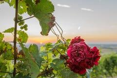Piękna czerwieni róża przy zmierzchem Zdjęcia Stock