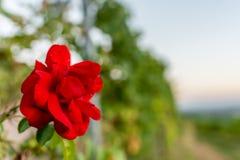 Piękna czerwieni róża przy zmierzchem Zdjęcia Royalty Free
