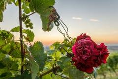 Piękna czerwieni róża przy zmierzchem Zdjęcie Royalty Free