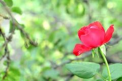 Piękna czerwieni róża r outdoors w ogródzie Zielona trawa i gałąź zamazany tło Obraz Royalty Free