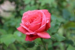 Piękna czerwieni róża samotnie zdjęcia royalty free