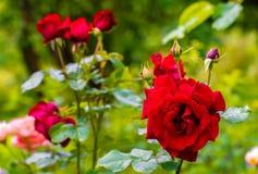 Piękna czerwieni róża w ogródzie, zielona natura zasadza tło słoneczny dzień Zdjęcia Royalty Free