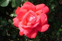 piękna czerwieni róża w rosie obraz royalty free