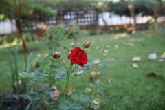 Piękna czerwieni róża z ogródem jako tło obraz royalty free