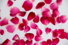 Piękna czerwieni róży płatków fotografia obraz royalty free