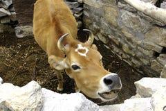 Piękna Czerwona krowa w Indiańskim himalaje Zdjęcia Stock