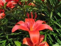Piękna czerwona leluja fotografia royalty free
