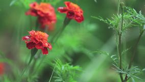 Piękna czerwona pomarańcze kwitnie z wodnymi kroplami w ogródzie Nagietki w prysznic deszczu, zamykają up, dynamiczna scena, ston zbiory wideo