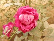 piękna, czerwona róża zdjęcia royalty free