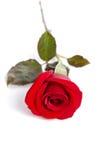 piękna, czerwona róża Fotografia Royalty Free