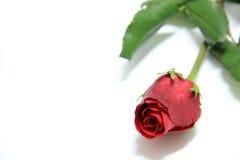 piękna, czerwona róża Zdjęcia Stock