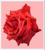 piękna, czerwona róża Zdjęcie Stock