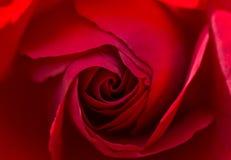 piękna, czerwona róża Obraz Stock