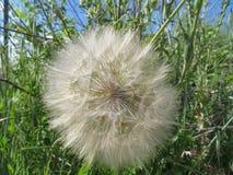 Piękna dandelion ampuła wielkościowa czekać na powietrze podróżować obraz stock