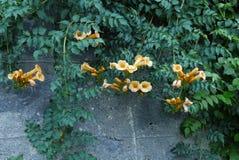 Piękna dekoracyjna zielona roślina z pomarańcze kwiatami i kędzierzawymi gałąź Zdjęcia Royalty Free