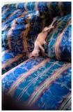 piękna dof ogniska nos psa obrazu s płycizny makro śpi Obrazy Royalty Free