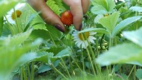 Piękna dojrzała soczysta truskawka na krzaku obok chamomile Kobiety ręka bierze truskawki od krzaka zbiory