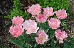 Piękna dwoista miękkich części menchii tulipanu kopia Shirley obrazy stock