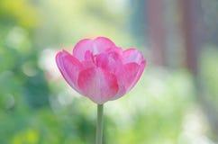 Piękna dwoista miękkich części menchii tulipanu kopia Shirley fotografia royalty free