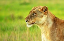 Piękna dzika afrykańska lwica Zdjęcia Royalty Free