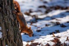Piękna dzika wiewiórka Zdjęcie Stock