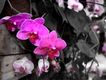 Piękna Farland orchidea w tropikalnym ogródzie , Pasmowi orchidea kwiaty , Piękni orchidea kwiaty Zdjęcie Stock