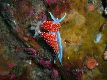 piękna fasolki ca wybrzeża Kalifornii crassicornis hollow hermissenda większość nudibranch ślimaki morskie 1 pescadero parku stan Fotografia Royalty Free