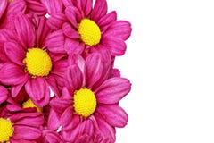 Piękna fiołkowa czerwona dalia flowers.Сloseup zdjęcie stock