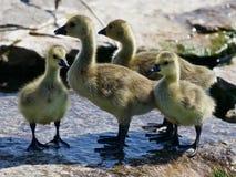 Piękna fotografia grupa mali kurczątka Kanada gąski Zdjęcie Stock
