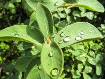 Piękna fotografia z kropli wodą na zielonych leafes Zdjęcie Stock