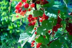 Piękna gałąź z czerwonymi jagodami w ogródzie zdjęcie royalty free