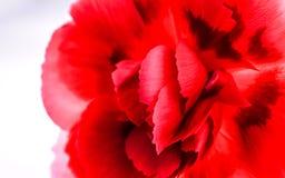 piękna goździka kwiatu czerwień Obrazy Royalty Free
