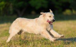 Piękna golden retriever biegający przy szkoleniem Obrazy Royalty Free