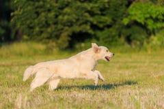 Piękna golden retriever biegający przy szkoleniem Zdjęcie Royalty Free