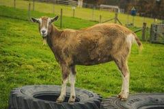 Piękna gruba świnia przy Szkockim rolnym Życiorys rolnictwa eco obraz stock