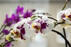 Piękna grupa bielu i menchii orchidea kwitnie w kwiacie z pączkami Obrazy Royalty Free