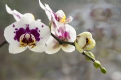 Piękna grupa bielu i menchii orchidea kwitnie w kwiacie z pączkami Fotografia Royalty Free