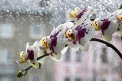 Piękna grupa bielu i menchii orchidea kwitnie w kwiacie z pączkami Zdjęcie Stock