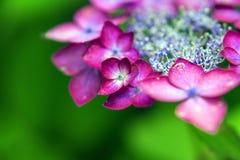 Piękna hortensja z menchii krawędzią Obraz Stock