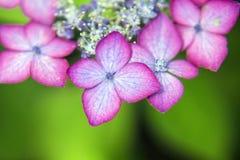 Piękna hortensja z menchii krawędzią Obraz Royalty Free
