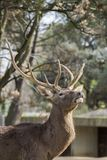 Piękna iberian jelenia samiec w ranku obraz stock