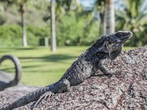 Piękna iguana sunbathing na kamieniu z zielonym tłem zdjęcia stock