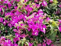 Piękna intensywna menchia kwitnie tło obrazy stock