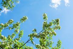 Piękna jabłoń rozgałęzia się z niebieskim niebem Piękny sprin Obrazy Stock