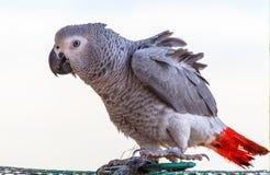 Piękna Jaco papuga na białym tle zdjęcia royalty free
