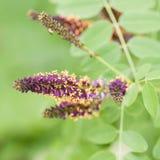 Piękna jaskrawa akacja kwitnie na gałąź obraz stock