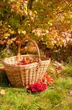 Piękna jesień W koszu jesień żniwo Zdjęcia Royalty Free